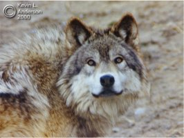 GrayWolf.jpg (14481 bytes)