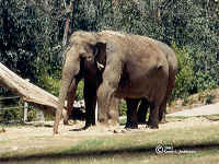 asianelephant3.bmp (90054 bytes)